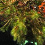 codium vermilara 19 150x150 Alga candelabro vermiforme