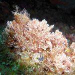 corallina comune 01 150x150 Corallina elongata, Alga corallina comune