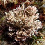 Corallina elongata, Alga corallina comune