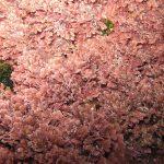 corallina comune 06 150x150 Corallina elongata, Alga corallina comune