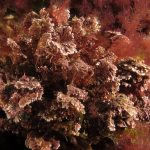 corallina comune 13 150x150 Corallina elongata, Alga corallina comune