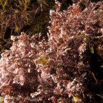 corallina comune 14 150x150 Corallina elongata, Alga corallina comune