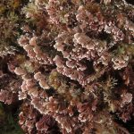 corallina comune 15 150x150 Corallina elongata, Alga corallina comune