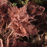 corallina comune 19 150x150 Corallina elongata, Alga corallina comune