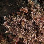 corallina comune 20 150x150 Corallina elongata, Alga corallina comune