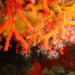 corallo rosso 10 150x150 Corallium rubrum, Corallo rosso