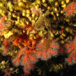 corallo rosso 14 150x150 Corallium rubrum, Corallo rosso