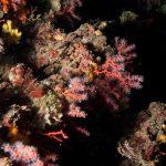 corallo rosso 15 150x150 Corallium rubrum, Corallo rosso