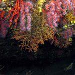corallo rosso 20 150x150 Corallium rubrum, Corallo rosso