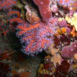 corallo rosso 24 150x150 Corallium rubrum, Corallo rosso