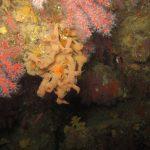 corallo rosso 27 150x150 Corallium rubrum, Corallo rosso