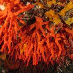 corallo rosso 37 150x150 Corallium rubrum, Corallo rosso