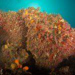 corallo rosso 51 150x150 Corallium rubrum, Corallo rosso
