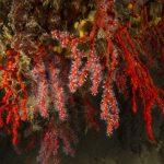 corallo rosso 67 150x150 Corallium rubrum, Corallo rosso