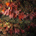 corallo rosso 70 150x150 Corallium rubrum, Corallo rosso