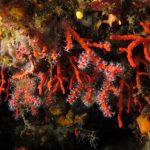 corallo rosso 71 150x150 Corallium rubrum, Corallo rosso