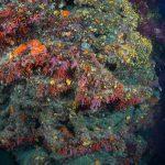 corallo rosso 76 150x150 Corallium rubrum, Corallo rosso