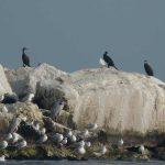 cormorano 01 150x150 Phalacrocorax carbo   Cormorano