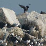 cormorano 03 150x150 Phalacrocorax carbo   Cormorano