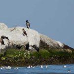 cormorano 08 150x150 Phalacrocorax carbo   Cormorano