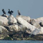cormorano 09 150x150 Phalacrocorax carbo   Cormorano