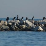 Phalacrocorax carbo - Cormorano