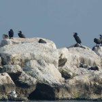 cormorano 13 150x150 Phalacrocorax carbo   Cormorano