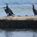 cormorano 15 150x150 Phalacrocorax carbo   Cormorano