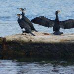 cormorano 16 150x150 Phalacrocorax carbo   Cormorano
