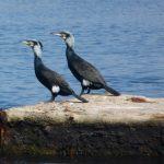 cormorano 17 150x150 Phalacrocorax carbo   Cormorano