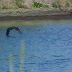 cormorano 19 150x150 Phalacrocorax carbo   Cormorano