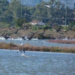 cormorano 23 150x150 Phalacrocorax carbo   Cormorano