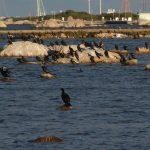 cormorano 29 150x150 Phalacrocorax carbo   Cormorano