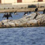 cormorano 30 150x150 Phalacrocorax carbo   Cormorano