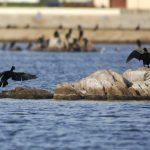cormorano 31 150x150 Phalacrocorax carbo   Cormorano