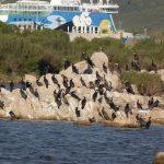 cormorano 35 150x150 Phalacrocorax carbo   Cormorano