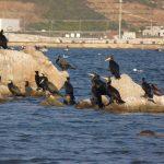 cormorano 36 150x150 Phalacrocorax carbo   Cormorano