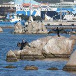 cormorano 37 150x150 Phalacrocorax carbo   Cormorano