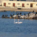 cormorano 38 150x150 Phalacrocorax carbo   Cormorano