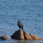 cormorano 40 150x150 Phalacrocorax carbo   Cormorano