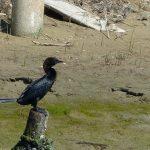 cormorano 47 150x150 Phalacrocorax carbo   Cormorano