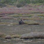 cormorano 60 150x150 Phalacrocorax carbo   Cormorano