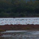 cormorano 64 150x150 Phalacrocorax carbo   Cormorano