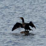 cormorano 68 150x150 Phalacrocorax carbo   Cormorano