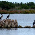 cormorano 71 150x150 Phalacrocorax carbo   Cormorano