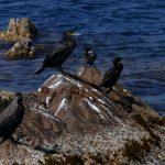 cormorano 76 150x150 Phalacrocorax carbo   Cormorano