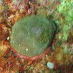 crania 01 150x150 Brachiopode crania