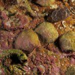 crania 09 150x150 Brachiopode crania