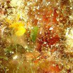 crimora 05 150x150 Crimora papillata   Crimora