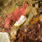cromodoride pois rossi 102 150x150 Felimida elegantula, Chromodoris elegantula   Cromodoride a pois rossi